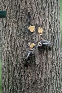 Adult and Juvenile Downy Woodpeckers
